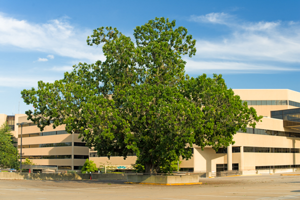 Many ancient trees remain even in urban areas. (Photo: Dr. Kimmerer)