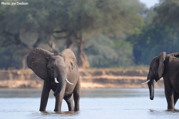 Recent censuses have revealed an unmistakable decline in the elephant population in many parts of Africa. (Photo: Joe Dodson)