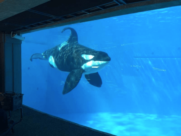 An orca, or killer whale, in a SeaWorld tank. (Photo Credit: PETA)