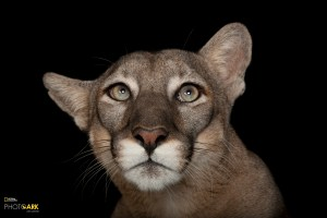 Florida Panther (Puma concolor coryi) at Everglades National Park, FL & Big Cypress National Preserve, FL. (© Photo by Joel Sartore/National Geographic Photo Ark)