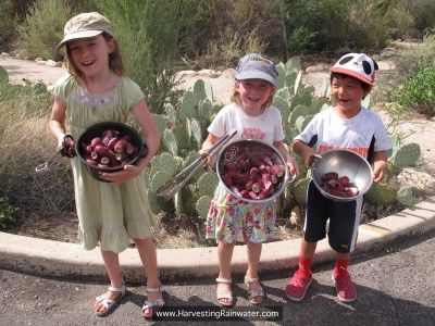 Prickly-pear-harvest joy