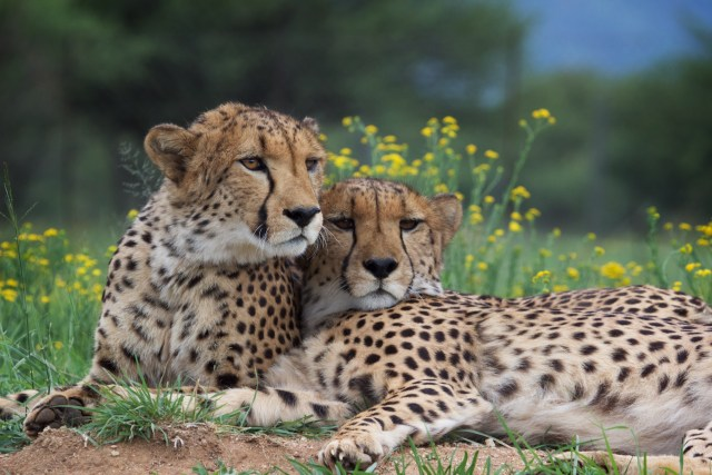Cheetahs Peter and Khayjay. (Photo Credit: Eli Walker, via CCF)