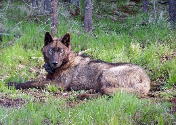 OR25, a yearling male in the Imnaha Pack, after being radio-collared on May 20, 2014. (Photo courtesy of ODFW.)