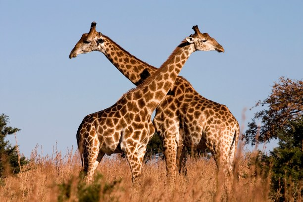 Fighting giraffes in Ithala Game Reserve, northern KwaZulu-Natal, South Africa. (Photo Credit: Luca Galuzzi)