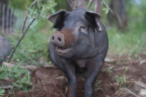 A Heritage Breed Pig at Rock Bottom Ranch. (Photo Credit: Aspen Center for Environmental Studies)