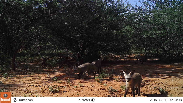Bat-eared foxes. (Photo via CCF)