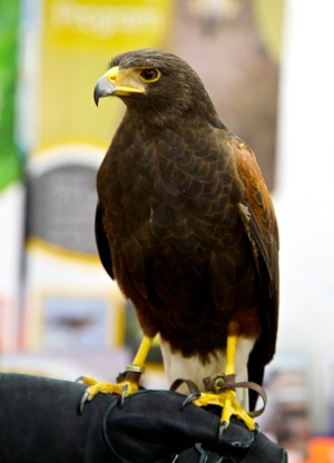 Another Harris's hawk from the Fal-Tech team. I did not get this one's name because he kept staring at me like this and that beak looks even sharper in real life. (Photo Credit: Rick Baraff)