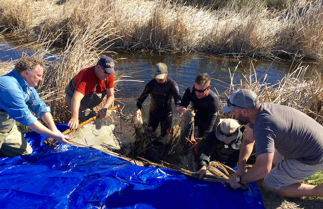 Southern Tidewater Goby recovery effort at Cockleburr Canyon Creek, Marine Corps Base Camp Pendleton, San Diego County. (Photo Credit: Akino Higa)