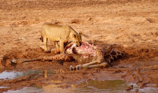 During the Lion Kids Camp, we take the children on a wildlife safari. They were lucky to witness Naisherua on a giraffe kill! (Photo Credit: Ewaso Lions)