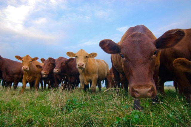 Grass-fed beef cattle. (Photo Credit: Ryan Thompson / USDA)