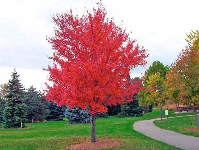 Red maple tree. (Photo Credit: David Wagner)