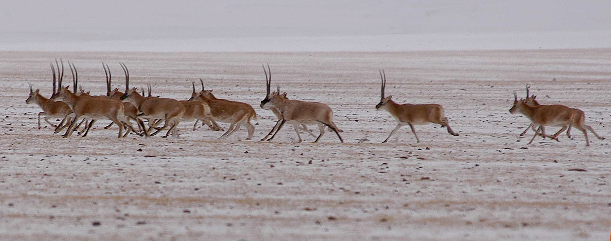 Male Tibetan antelopes race across frozen ground in winter in Tibet.
