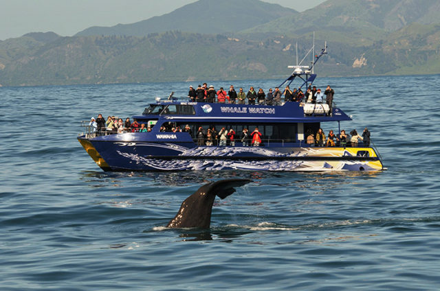 The Wawahia and a whale's tail. (Photo: Whale Watch Kaikōura)
