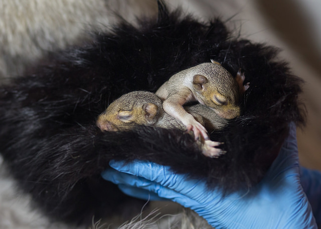 Baby squirrels get cozy in fur collected by and donated from Born Free USA at Urban Utopia Wildlife Rehabilitation in New York. Photo: Nicholas Alexiy Moran