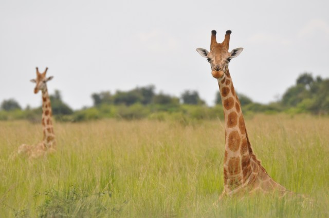 Nubian giraffe in Murchison Falls NP, Uganda. (Photo Credit: GCF)