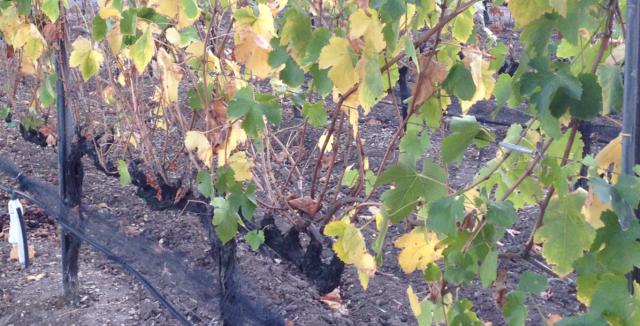 Closer inspection of dried out vines. (Photo Credit: Nick Marinoff)