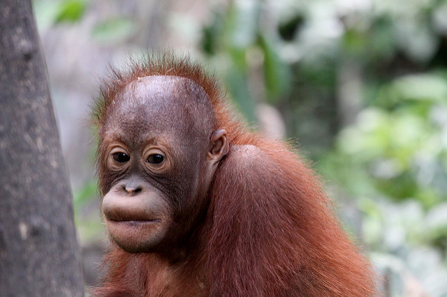 Deforstation to make way for palm oil plantations is threatening the existence of orangutans, like this baby at a nature reserve in Borneo, Indonesia. (Photo: Daniel Kleeman / Flickr)