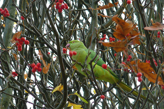 A feral parakeet living in London. (Photo: Jane Dickson / Flickr)