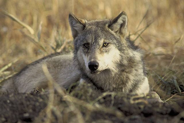 A gray wolf. (Photo: John and Karen Hollingsworth / USFWS)