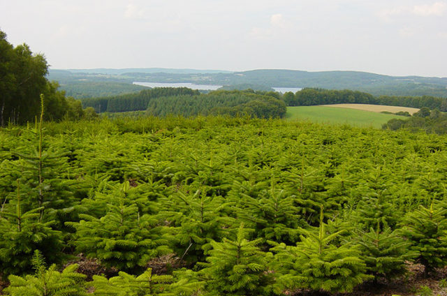 In this nursery, Nordmann firs recover for approximately three years before they can be adopted by a new family for another Christmas. (Photo: ASFNN / Valhor)