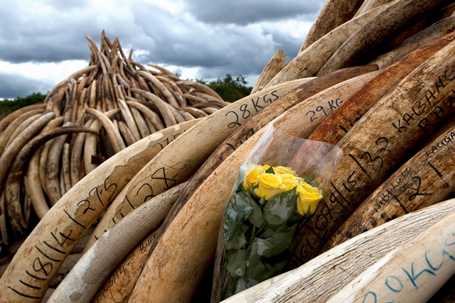 Confiscated ivory ready to be burned in Kenya. (Photo: IFAW)