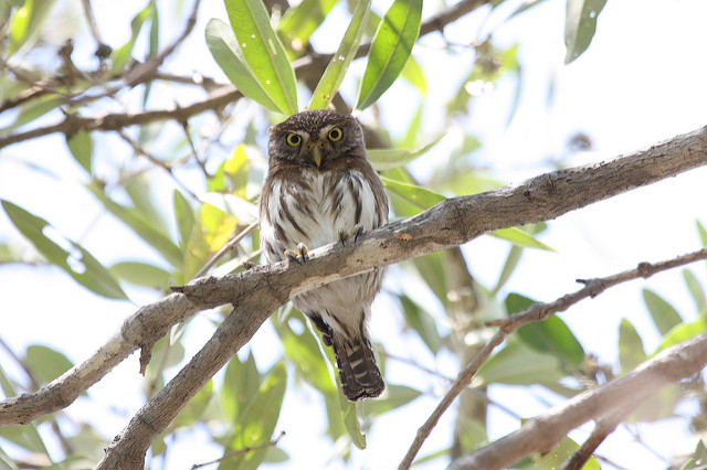 A border wall could interfere with the ferruginous pygmy owl's ability to breed. (Photo: Dominic Sherony / Flickr)