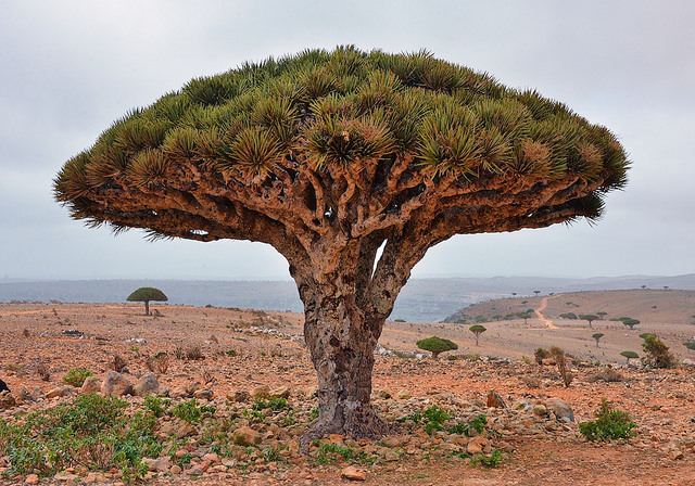 The Dragons Blood Tree is one of thousands of species that are at risk of extinction. (Photo: Rod Waddington / Flickr)