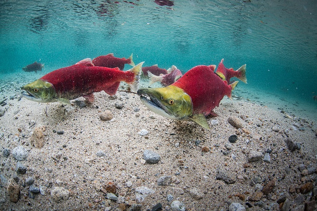 Sockeye salmon spawning in Iliana Lake, near the site of the proposed Pebble Mine project. (Photo: University of Washington)