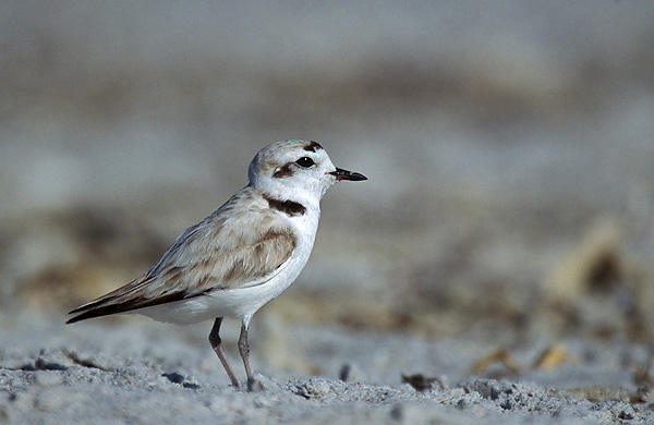 An endangered western snowy plover. (Photo: USFWS)
