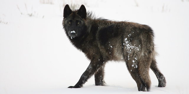 A wolf in Lamar Valley in Wyoming's Yellowstone National Park. (Photo: Jim Peaco / NPS)
