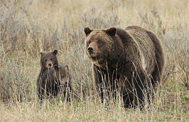 A grizzly sow and her cubs in Yellowstone National Park. (Photo: Yellowstone National Park / Flickr)