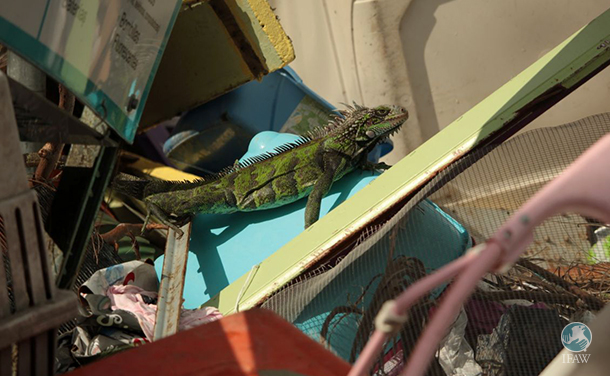An iguana scours the trash after Hurricane Irma hits the US Virgin Islands.
