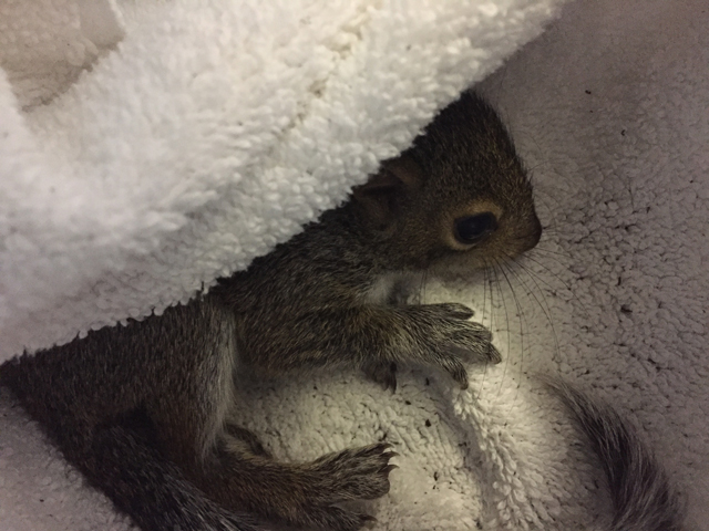 A squirrel affected by Hurricane Irma. (Photo: HSUS)
