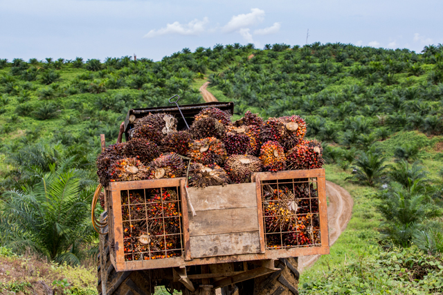 A truck full of harvested palm fruits on their way to be processed into oil. (Photo: Nanang Sujana / Rainforest Action Network)