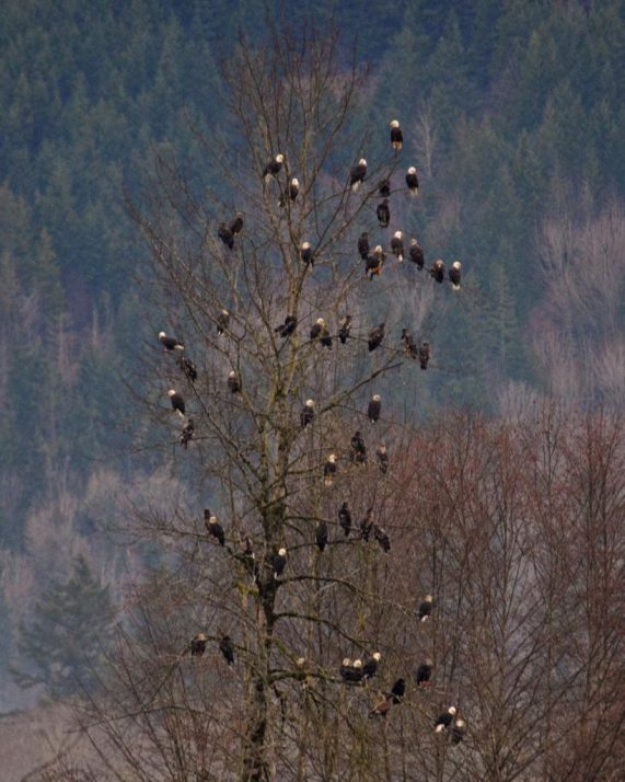 Over 50 bald eagles in one tree in Washington state. Photo credit: Chuck Hilliard.