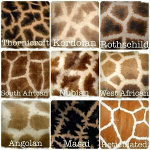 The coat patterns of various giraffe throughout Africa. Image via Zoo News Digest. (Image Credit: International Hoofstock Awareness Association)