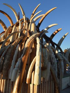 A tower of confiscated ivory tusks that was eventually crushed by the USFWS. (Photo: Ivy Allen / USFWS)