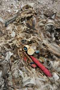 The remains of an Laysan Albatross chick that starved to death because it's parents fed it too much plastic flotsam. (Photo: Duncan / Flickr)