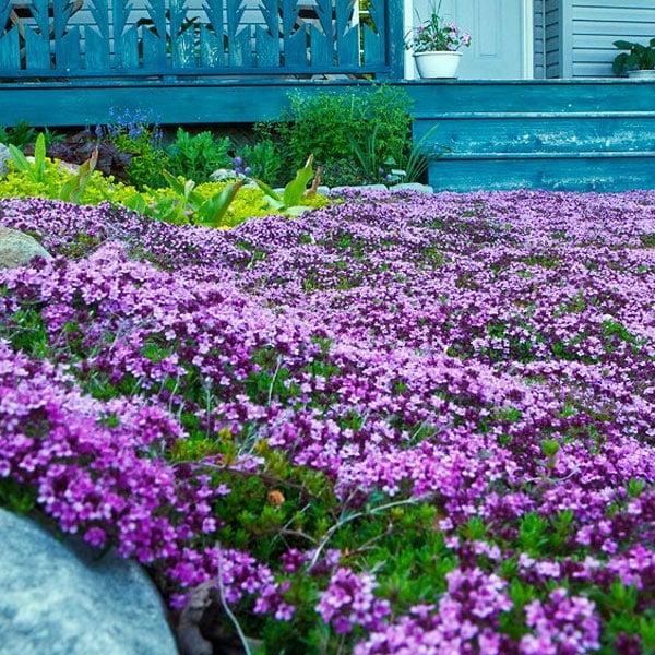 Low Maintenance Lawn Alternatives Planet Natural