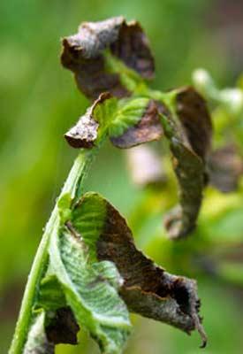 Garden Plant Diseases  Vegetable Gardening Guru