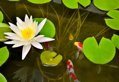 Pond Plants and Flowers for a Koi Garden  Planet Natural