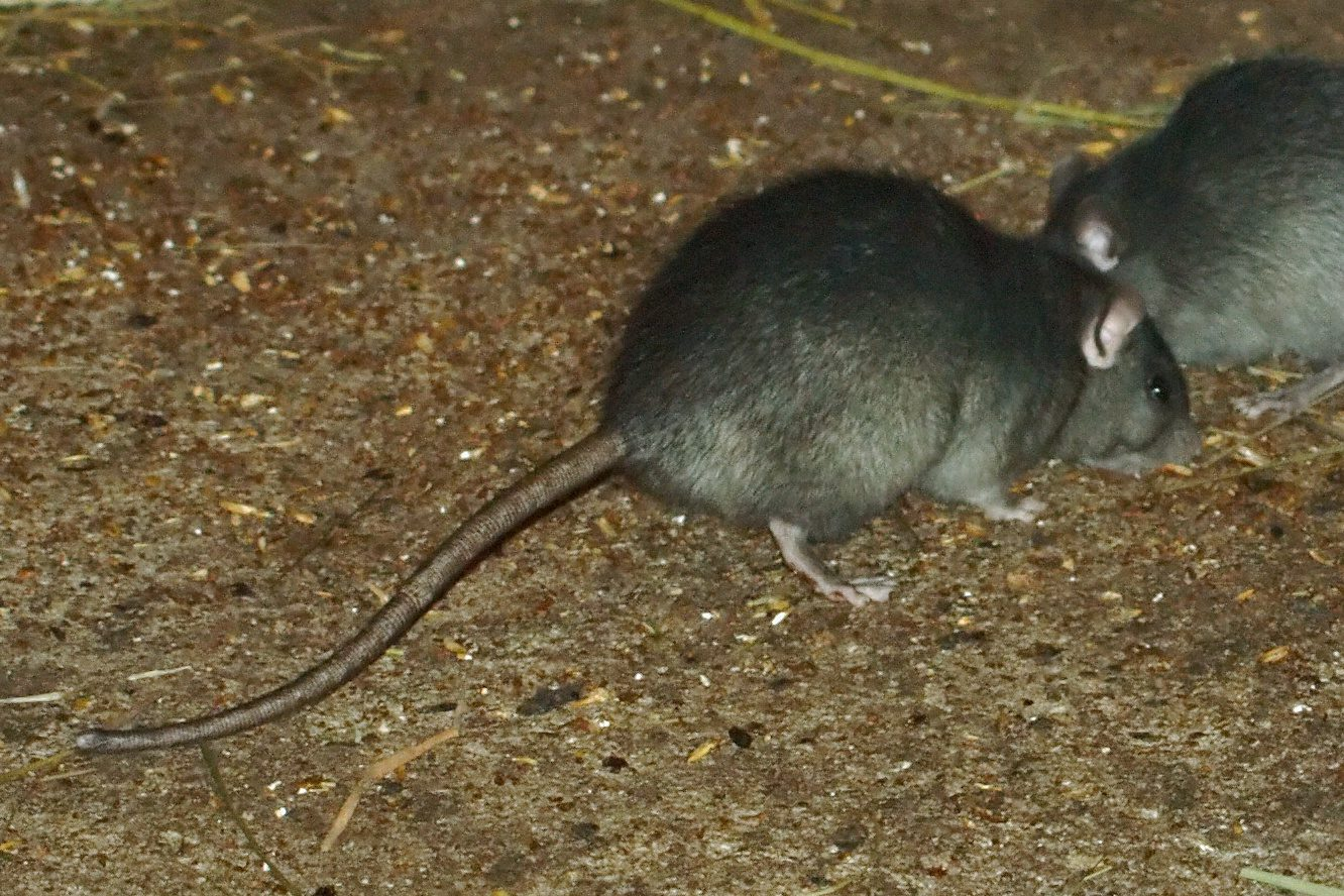 Rodent Control in San Jose, Rat and Mice Control by Planet Orange