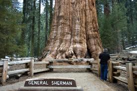 worlds largest tree
