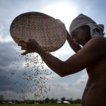 Philippine Farmers Seek Review of Rice Law as Prices Plunge