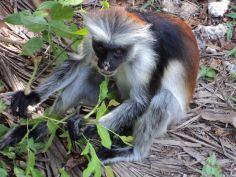 Scimmie rosse di Zanzibar