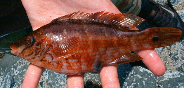 species ID corkwing wrasse