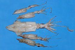 calamari squid