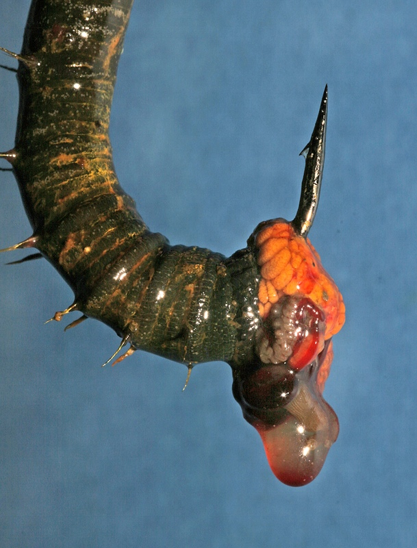 juices dripping from a lugworm on a hook