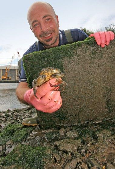 a prime peeler crab