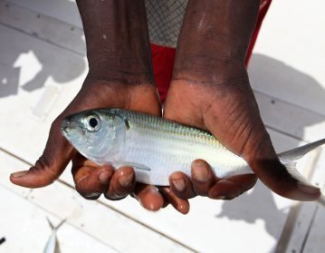 a Guinea-Bissau yaboys for bait